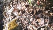 Formosa Road Cut Snake. Photo Credit: Jenny Ward